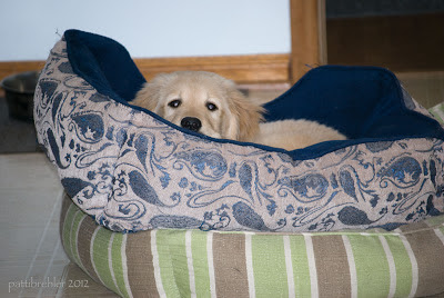 A golden retriever puppy pokes his face out from within a deep blue dog bed. The bed he is in sits on top of another green striped bed. You can just see his eyes and nose.