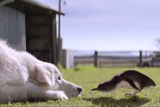 Sheepdogs save penguins on tiny Australian island