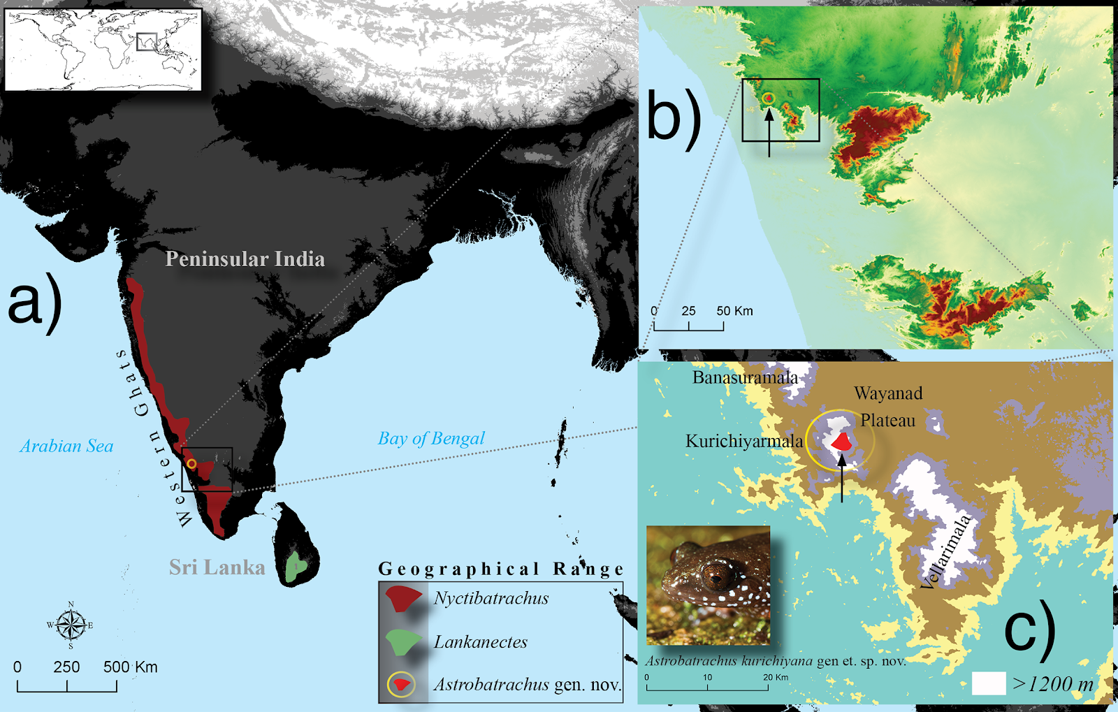 Geographical range (A) of the three genera, Nyctibatrachus (Nyctibatrachinae), Lankanectes (Lankanectinae) and the new genus Astrobatrachus