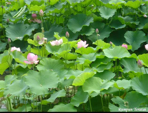Jual Tanaman Air Papirus Teratai Bambu Air Lotus
