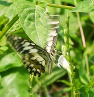 Lime Butterfly (Papilio demoleus demoleus)