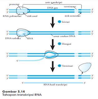 tahapan transkripsi RNA