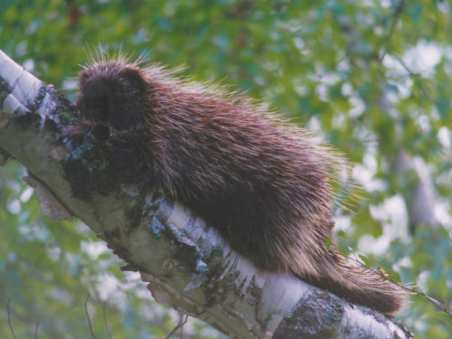 porcupine