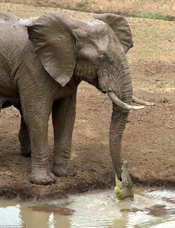 Crocodile Tried To Catch Elephant