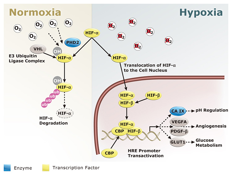 homeostasis and why it is an Regulation of body fluid ph is one of the most important physiological functions of  homeostasis, because activity of most chemical reactions via.