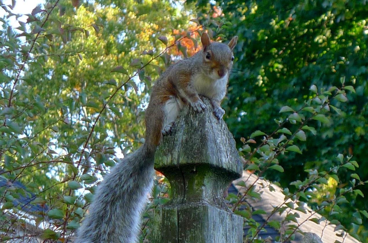 Squirrel, organic pest control, urban farming