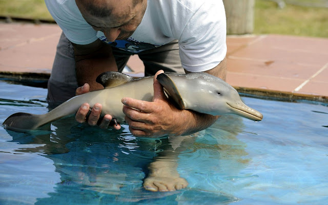 Golfinho bebê