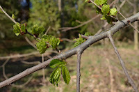 Siberian elm (Ulmus pumila)