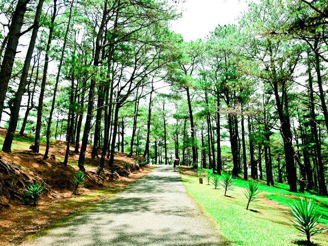 Pine Trees in PMA, Baguio