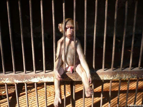 Pakistan Arrested Monkey Monkey 'arrested' in Pak For