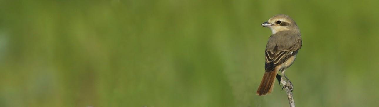 Alcaudon colirrojo
