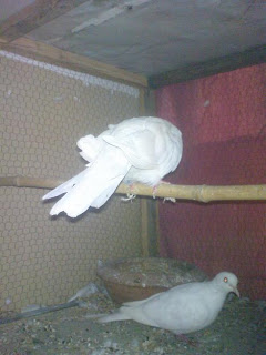 white breeder doves for sale lahore