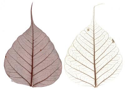 Buddha Pipal leaves