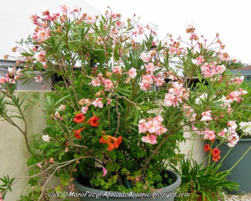 Nerum oleander