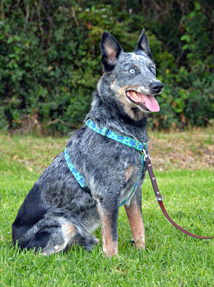 The Dog Geek: DIY: Using a Regular Harness as a Front-Clip Harness