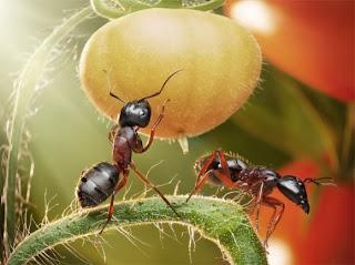 Hormigas ( II ) El hormiguero más grande el mundo. Foto: Pavlov
