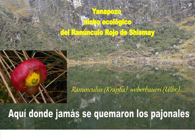 Laguna Yanapozo Shismay Huánuco - Perú, Nicho ecologico Ranunculo Rojo