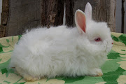 Redeyed white kits are available from a REW German Angora doe (one of my .
