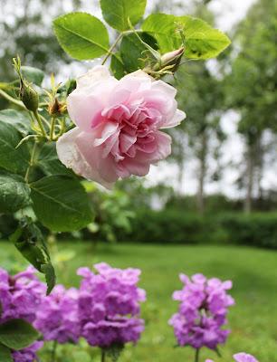 Rosa ros, praktbetonika
