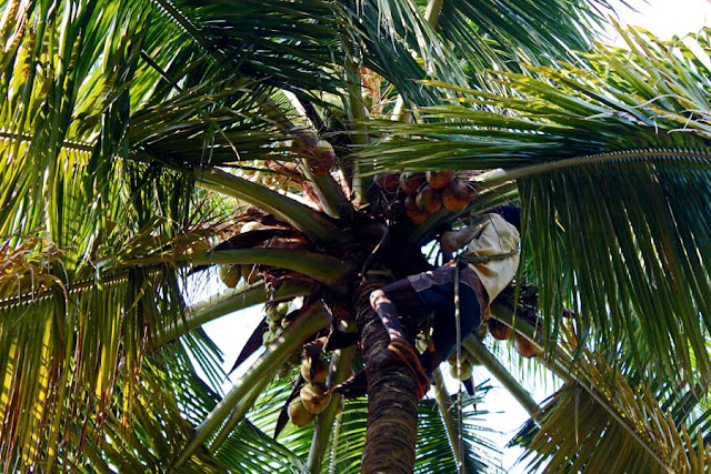 man in the branches of a coconut tree cutting coconuts