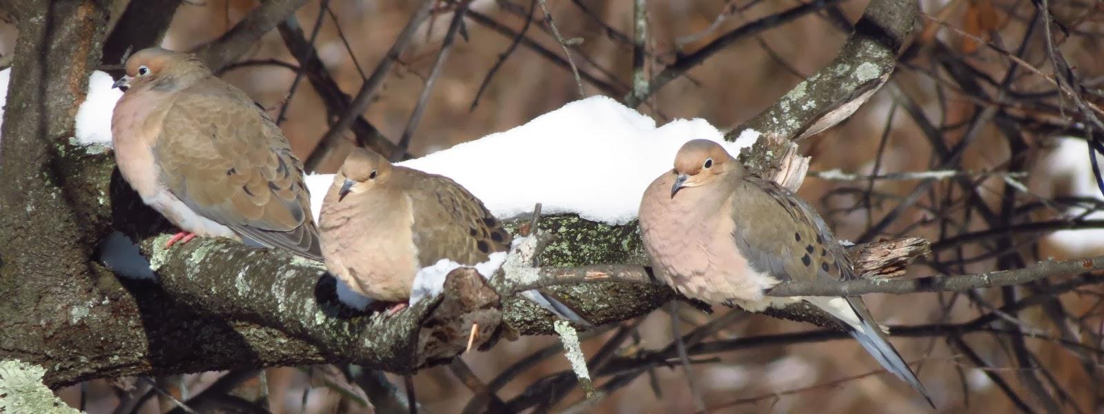 mourning doves sunning