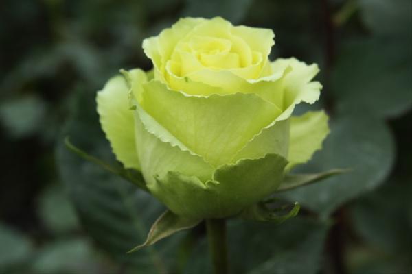 Avenger blog Green Rose Flower