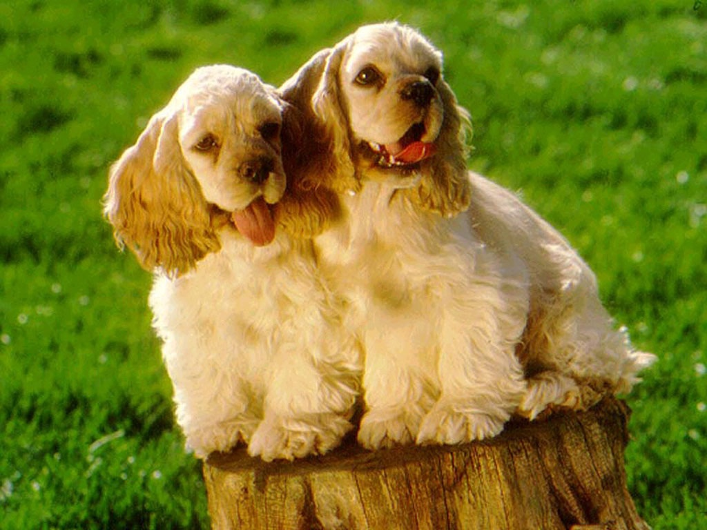 Cocker Spaniel Dog Breeders Profiles and Pictures | Dog