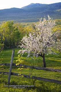 Shridan's pasture, Mount Monadnock, Jaffrey New Hampshire, spring, apple blosoms