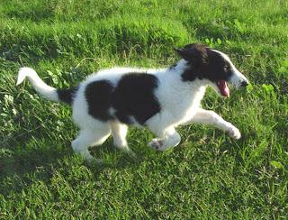 Borzoi Puppy Picture
