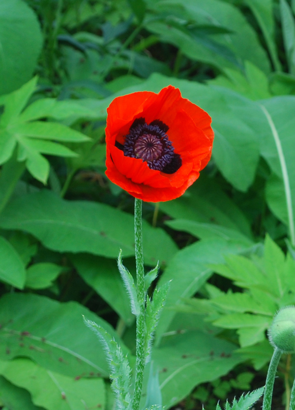 Poppies at the Bronx Botanical Gardens / Маки в Нью-Йорке