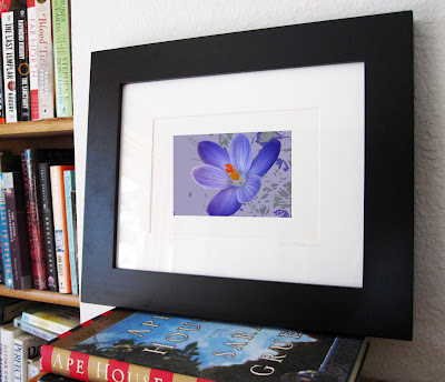 A framed display of the vibrant indigo blue of a spring crocus macro finds itself on a modern background of complimentary colors.