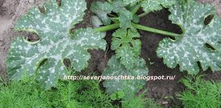 уплотненные посадки овощей