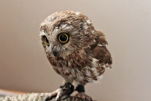 baby owls photos