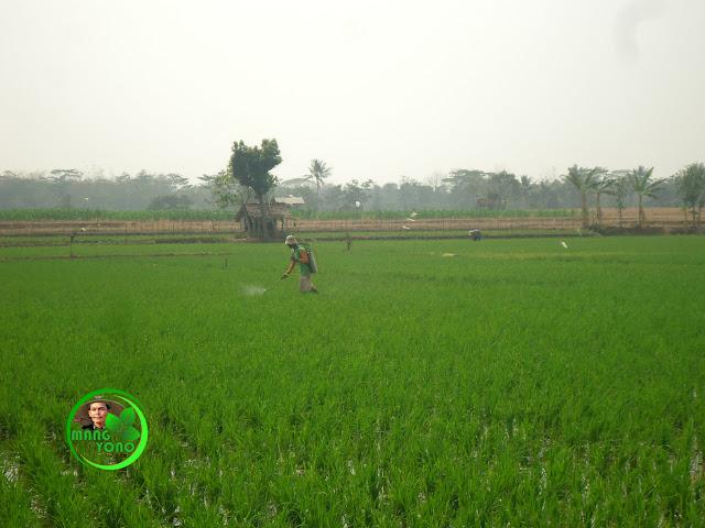 FOTO : Mang Rasam sedang melakukan penyemprotan tanaman padi
