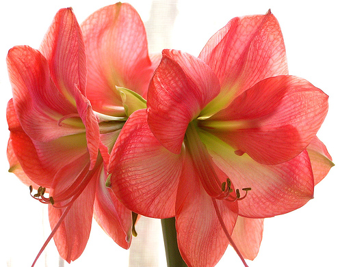 L 39 amaryllis flore de l le de la r union for Amaryllis culture