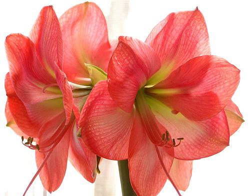 Jolie-Fleur à l'honneur ! dans Fou-dingue AMARYLLIS2
