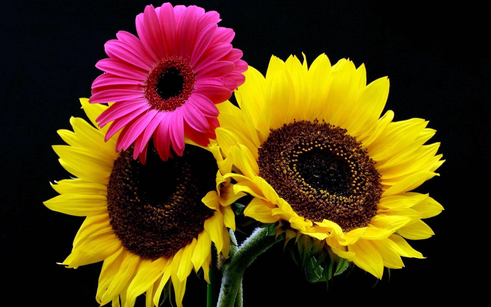 wallpapers Gerbera Flowers Wallpapers