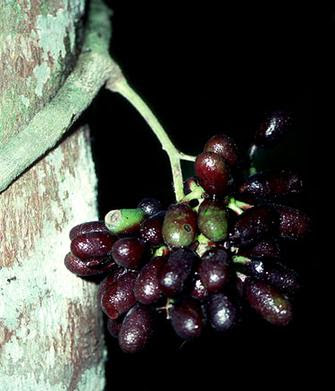 Pareira (Chondrodendron Tomentosum) Overview, Health Benefits, Side effects