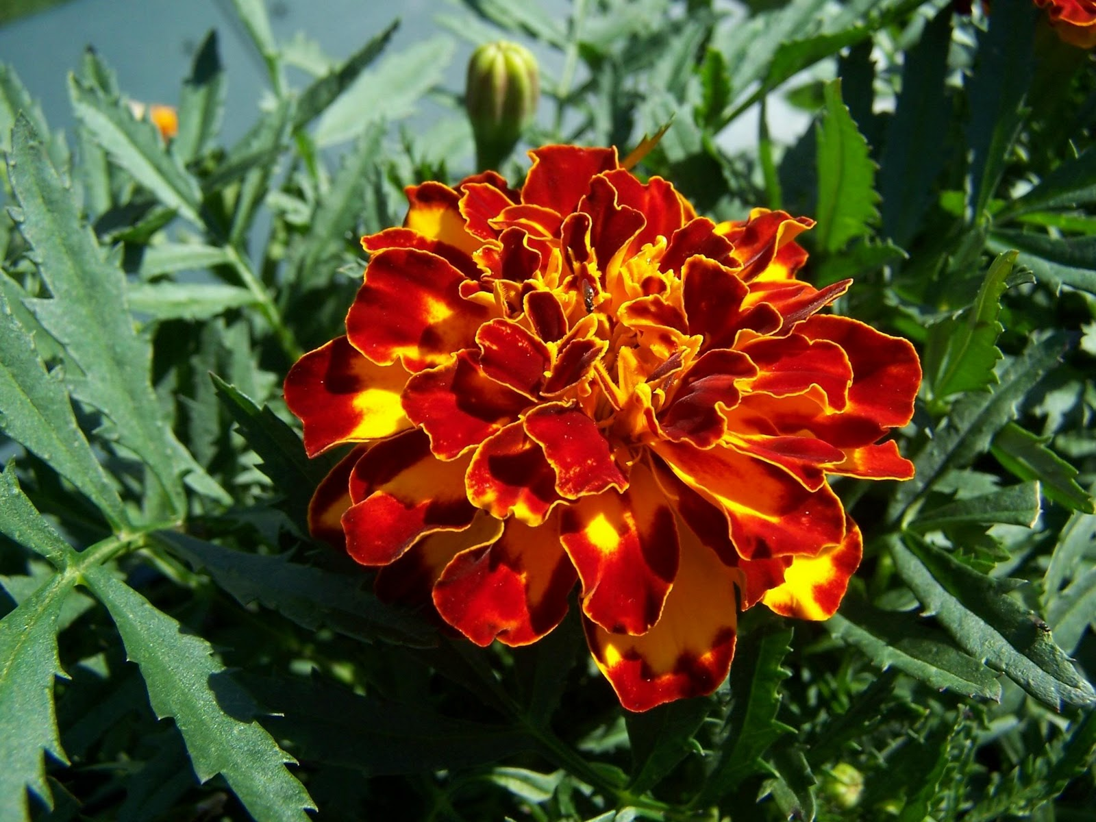 Flowers Colores Marigold Flower