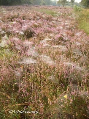 Heide met spinnenwebben