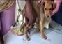 Pobre Cachorrito infectado de gusanos.