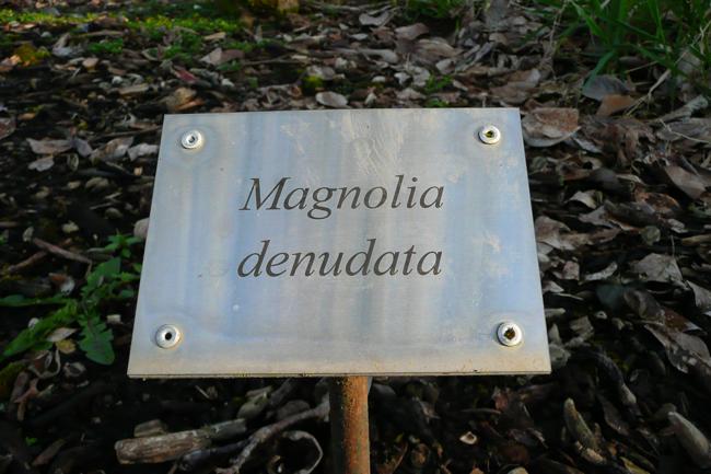 Magnolia denudata, cedar creek oregon