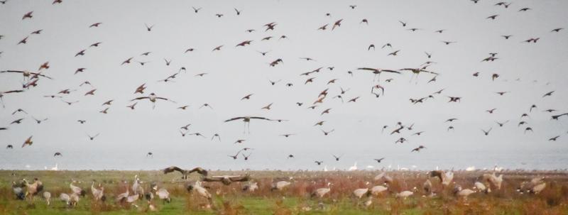 Tausende fliegende Kraniche