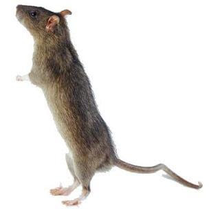 Foto de uan rata parándose