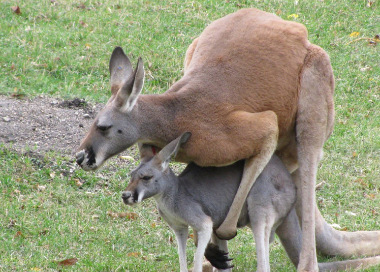 Animal You Red Kangaroo