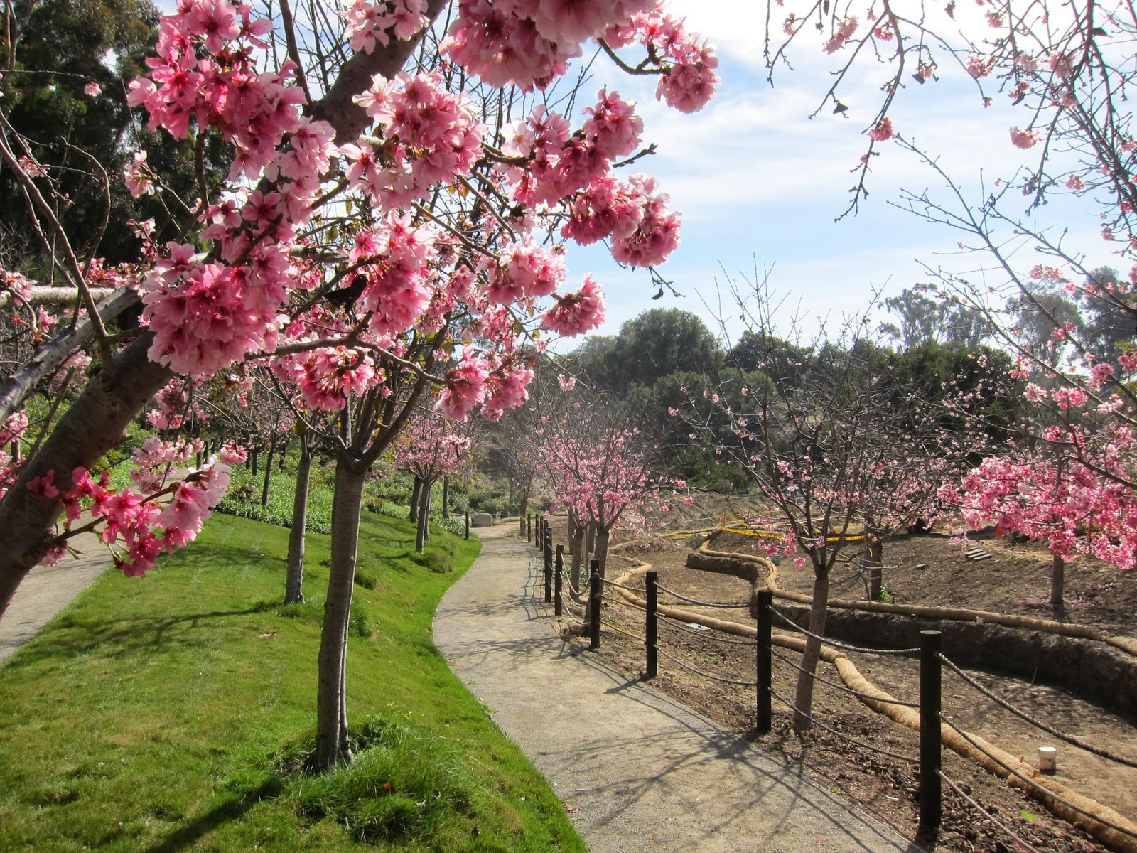 2014 cherry blossom countdown one more week japanese for Cherry blossom garden japan