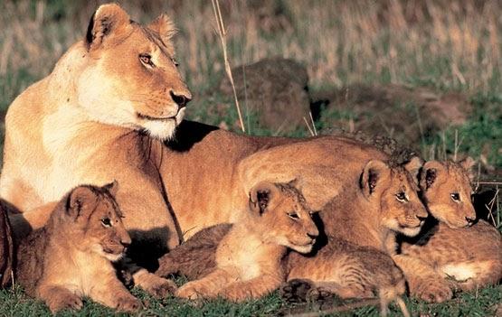 Los leones reproduccion de los leones - Como se aparean los elefantes ...
