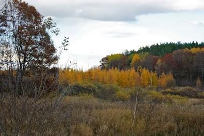October 2011 golden tamaracks