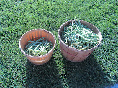 A bushel and a 1/4 a bushel of green beans