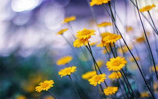 free hd images of camomille flowers for laptop